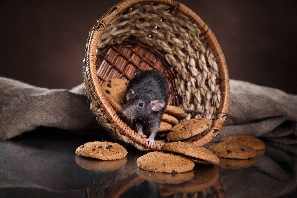 studio portrait of a brown domestic rat